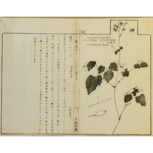 Unknown: Miyama Karamatsu, Thalictrum actaefolium, S et Z, Ranunculaceae - Art Gallery of Greater Victoria