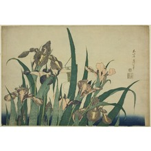 Katsushika Hokusai: Iris and Grasshopper, from an untitled series of large flowers - Art Institute of Chicago