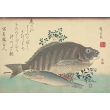 歌川広重: Shimadai, Ainame, and Nandina, from a series of Fish Subjects - ウィスコンシン大学マディソン校