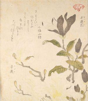 窪俊満: Magnolia (Mokuren) and Magnolia kobus (Kobushi), from the series An Array of Plants for the Kasumi Circle (Kasumi-ren sômoku awase), with poem, Edo period, circa 1804-1815 - ハーバード大学