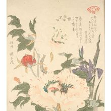 窪俊満: Iris (Kakitsubata) and Peony (Botan), from the series An Array of Plants for the Kasumi Circle (Kasumi-ren sômoku awase), with poems by Gurendo Nakakubo and Haikai Utaba (Utagaki Magao), Edo period, circa 1804-1815 - ハーバード大学