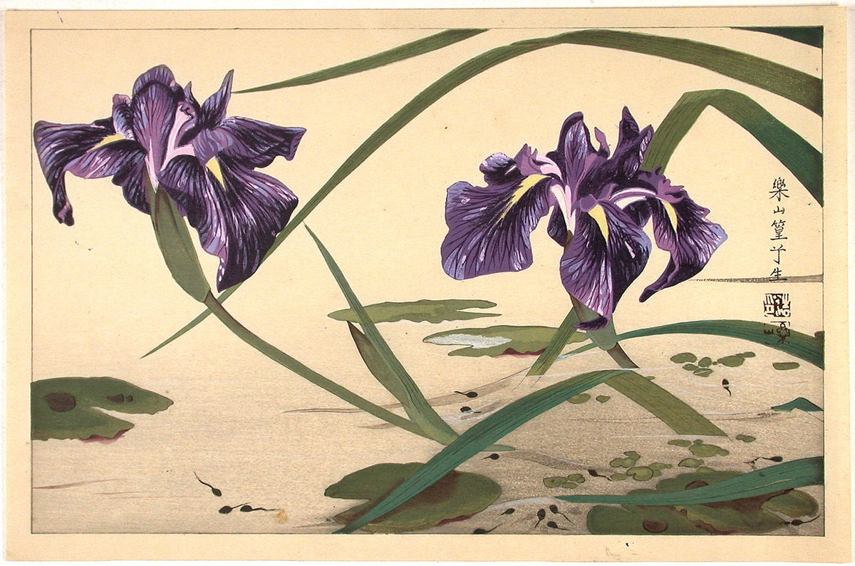 Japanese iris flowers pictures