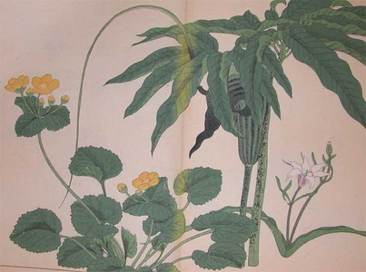 Sakai Hoitsu: Pinellia Pedatisecta, Hardy Orchid and Kingcup - Ronin Gallery