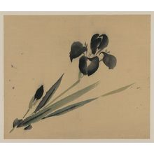 Unknown: [Iris?] - Library of Congress