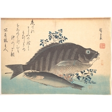 歌川広重: Shimadai and Ainame Fish, from the series Uozukushi (Every Variety of Fish) - メトロポリタン美術館