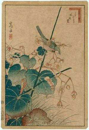 Nakayama Sûgakudô: No. 27, Bluebird and Begonia (Ruribitaki, shûkaidô), from the series Forty-eight Hawks Drawn from Life (Shô utsushi yonjû-hachi taka) - Museum of Fine Arts