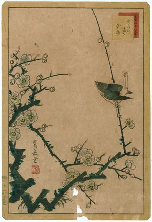 Nakayama Sûgakudô: No. 2, Warbler and White Plum (Uguisu hakubai), from the series Forty-eight Hawks Drawn from Life (Shô utsushi yonjû-hachi taka) - ボストン美術館