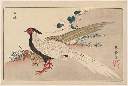 北尾政美: Silver Pheasants (Hakkan), reprinted from the album Kaihaku raikin zui (A Compendium of Pictures of Birds Imported from Overseas) - ボストン美術館