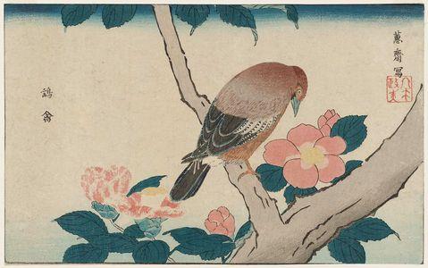 北尾政美: Sparrow Hawk (Yôkin) and Camellia, reprinted from the album Kaihaku raikin zui (A Compendium of Pictures of Birds Imported from Overseas) - ボストン美術館