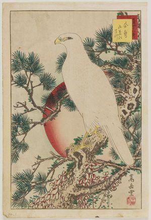 Nakayama Sûgakudô: No. 1, White Falcon and Five-needled Pine (Shirotaka goyô no matsu), from the series Forty-eight Hawks Drawn from Life (Shô utsushi yonjû-hachi taka) - ボストン美術館