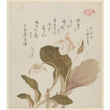窪俊満: Cyprepedium, from the series Plants for the Kasumi Circle (Kasumiren sômoku awase) - ボストン美術館