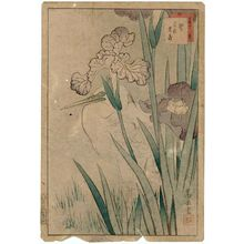 Nakayama Sûgakudô: No. 17, Heron and Iris (Sagi hanashôbu), from the series Forty-eight Hawks Drawn from Life (Shô utsushi yonjû-hachi taka) - ボストン美術館