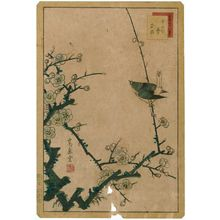 Nakayama Sûgakudô: No. 2, Warbler and White Plum (Uguisu hakubai), from the series Forty-eight Hawks Drawn from Life (Shô utsushi yonjû-hachi taka) - ボストン美術館