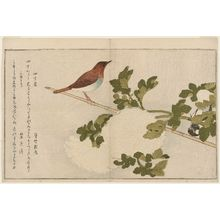 Kitagawa Utamaro: Great Tit (Shijûkara) and Japanese Robin (Komadori), from the album Momo chidori kyôka awase (Myriad Birds: A Kyôka Competition) - Museum of Fine Arts