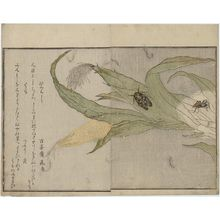 Kitagawa Utamaro: Spider (Kumo) and Evening Cicada (Higurashi), from the album Ehon mushi erami (Picture Book: Selected Insects) - Museum of Fine Arts
