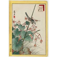 Nakayama Sûgakudô: No. 27, Bluebird and Begonia (Ruribitaki, shûkaidô), from the series Forty-eight Hawks Drawn from Life (Shô utsushi yonjû-hachi taka) - ボストン美術館