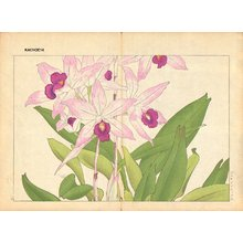 Tanagami, Konan: Laelia Anseps - Asian Collection Internet Auction